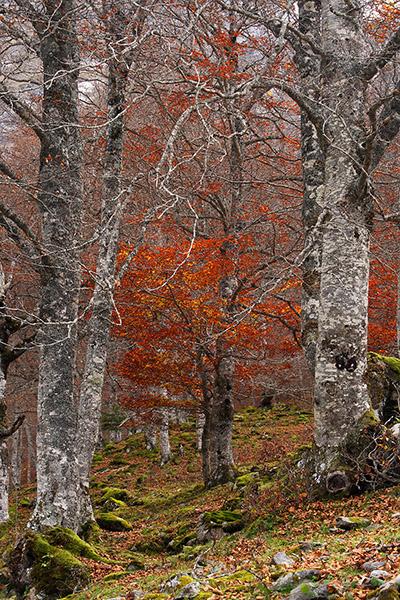 Bosc de tardor a l'Artiga de Lin, fageda Vielha, Val d'Aran, Lleida